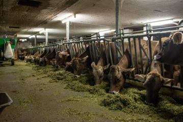 Milchkühe an Futtertenn