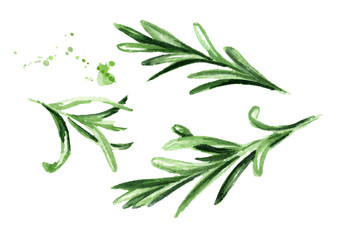Rosemary set. Watercolor hand drawn illustration, isolated on white background