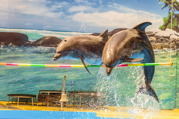 Two dolphins jump over a hanging crossbar