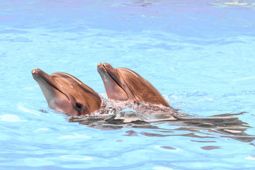 Two Black Sea bottlenose dolphins swiming in blue water