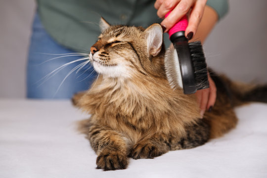 Tabby cat lying and enjoying being cleaned and combed. Combing the furry grey striped cat. The concept of pet care