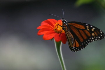 close-up of a monarch butterfly on an orange flower with burred background
