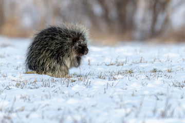 Porcupine Side Profile Sat in Snow (New World Porcupine)