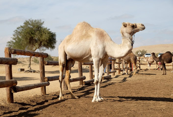 Camels in a corral on a camel farm