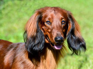 Dachshund long-haired portrait. The portrait of long-haired Dachshund.