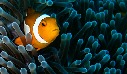Clownfish in his anemone