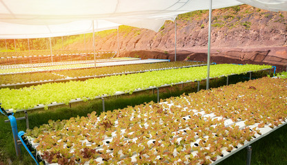 vegetable hydroponic system / young and fresh vegetable red oak lettuce salad growing garden hydroponic farm salad
