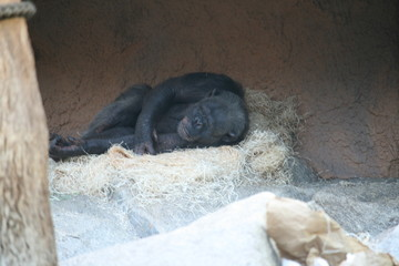 Foto op Aluminium Panter schlafender Gorilla