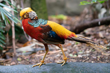 Male golden pheasant or Chinese pheasant Chrysolophus pictus