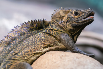 Crested lizard or sailfin lizard Hydrosaurus pustulatus