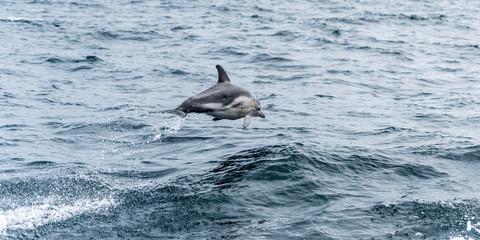 Dolphin, Phillip Island, Victoria