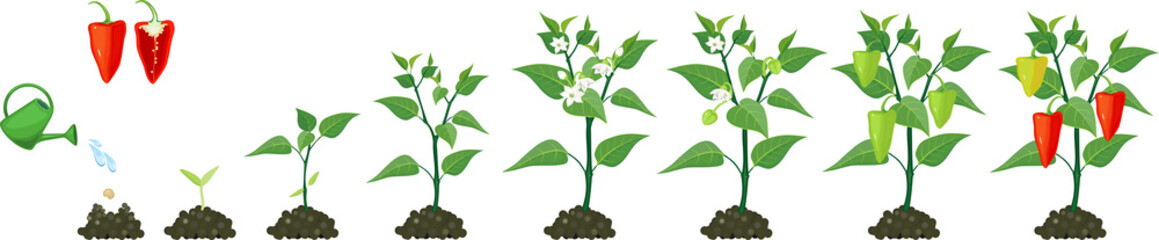 Life cycle of pepper plant. Stages of pepper growth from seed and sprout to harvest