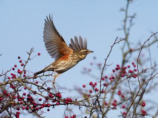 Fotoväggar - Redwing, Turdus iliacus