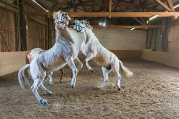 Kampf um Rangfolge zweier Pferde