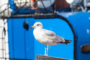 Seabird at Harbor / Seagull at harbor in front of blue ship background (copy space)