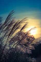 Beautiful Charming Evening Mood / Bunch of tall grass as silhouette at sunset twilight sky (copy space)