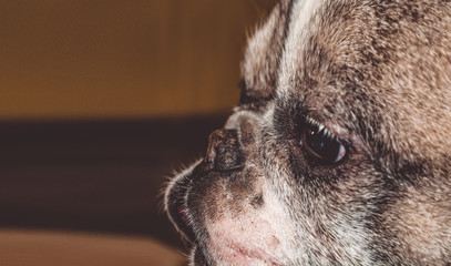 Little dog with lovely eyes and large ears. Wrinkled muzzle. Pedigree. Breed of Kan Corso, French bulldog. Pet.
