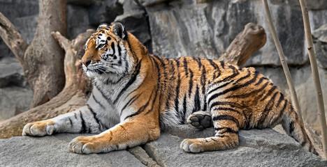 Young siberian tiger . Latin name - Panthera tigris altaica Wall mural