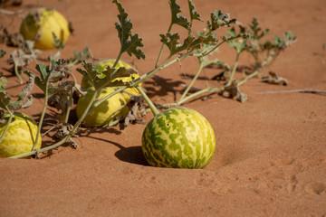 Desert Squash (Citrullus colocynthis) (Handhal) in the United Arab Emirates.