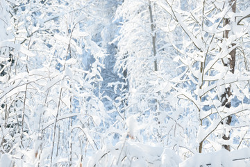Winter branches covered with snow. Frozen tree branch in winter forest. Winter forest landscape.