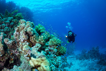 Woman diver explores the reef at Abu Dabab in the Red Sea, Egpyt