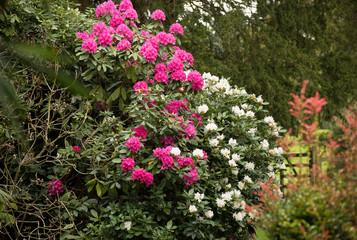 Mixed rhododrendron bushes