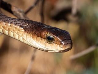 Boomslang (Dispholidus typus) - a venomous snake (reptile).