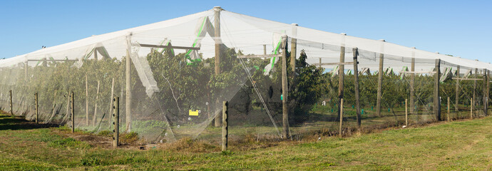 An apple orchard protected by anti bird netting to stop birds damaging fruit trees in Havelock North New Zealand