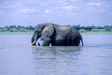 Elephant (Loxodonta africana), Selous Game Reserve, Morogoro, Tanzania, Africa