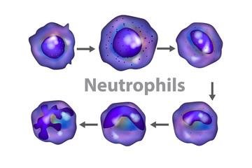Neutrophils (neutrocytes). The development of neutrophils