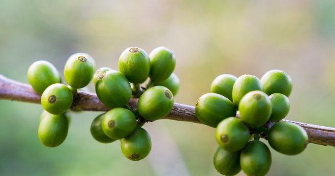 Close up raw coffee beans branches in garden