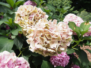Garden hydrangea flower in cream color.