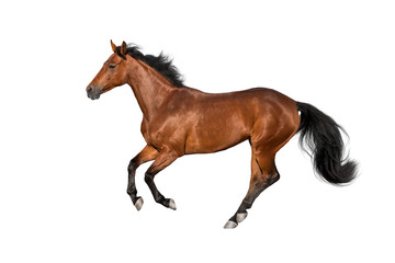 Wall Mural - Bay stallion run gallop isolated on white
