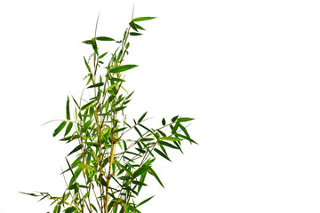 Branch of bamboo on white background