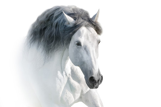 White andalusian horse portrait on white background. High key image