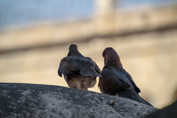Two laughing doves waiting together