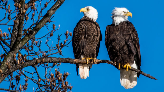 Mating pair of Bald Eagles on branch