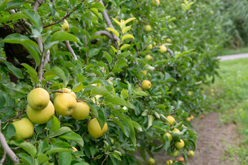 New harvest of healthy fruits, ripe sweet green apples growing on apple tree