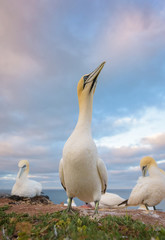 Northern gannets against cloudy sky