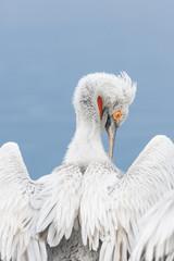 Dalmatian pelican (Pelecanus crispus) grooming