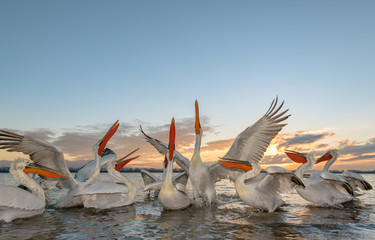 Dalmatian pelican birds in lake during sunset