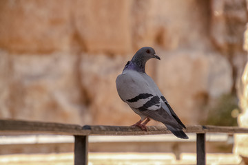 Rock pigeon perched on railing at the Tower of David citadel