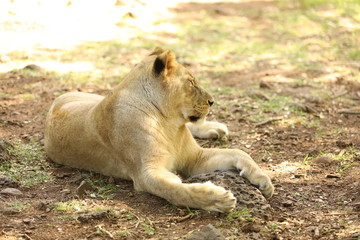 Lioness is lying on the grass resting under a tree