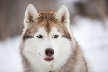 beautiful and happy Siberian Husky dog sitting on the snow in the forest in winter