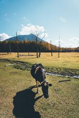 牧場の牛 Ranch cattle, Cow