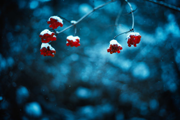 Red viburnum berries with winter background. Cold weather. Man hand keeps a branches of viburnum. Winter background.