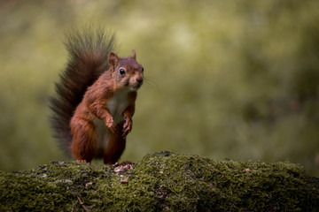 Fototapete - Red Squirrel UK Wild