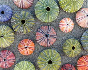 colorful sea urchins shells on wet sand beach top view