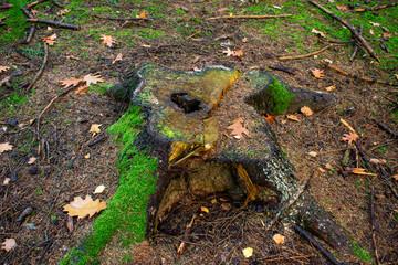 Baumstumpf im Wald. Standort: Deutschland, Nordrhein-Westfalen, Hoxfeld