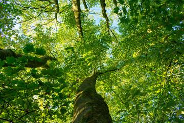Baumkrone von unten. Standort: Deutschland, Nordrhein-Westfalen, Hoxfeld